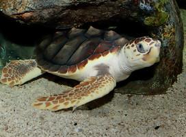 Tortugas bobas en peligro de extinción nacieron en Eilat